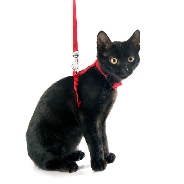 Kitten collars and leads